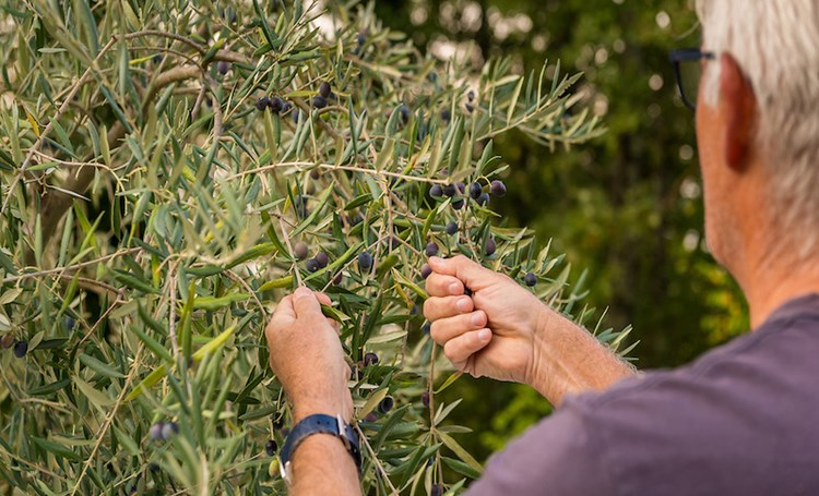 B10 Istrian Fusion – Olive oil production in Istria