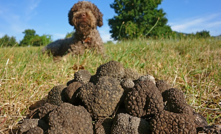 Treasure hunting the Istrian way – find the truffle!
