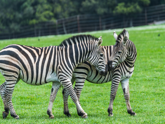 The Meeting of two familiar zebras on a green meadow in a game reserve