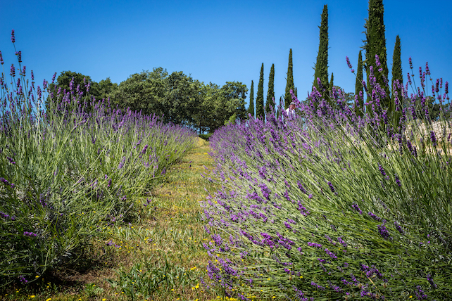 lavender-fields-an-d-other-greenery-in-a-small-village-in-Istria-on-a-sunny-day