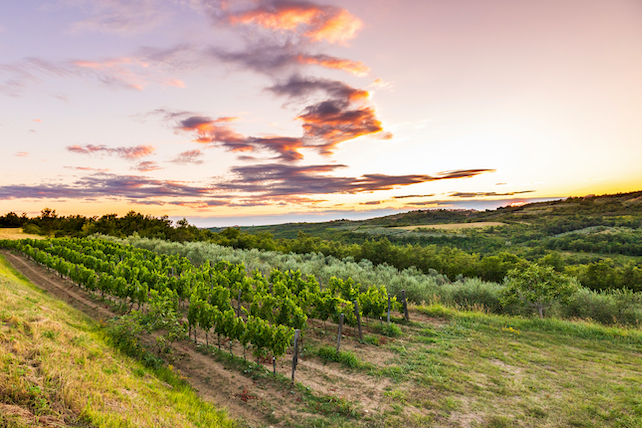 vineyard-in-Croatia-on-a-hill-during-sunset-surrounded-by-fields-and-forests