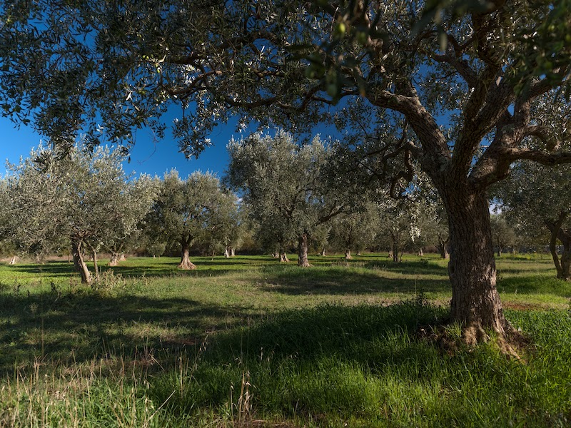 olive-groves-used-to-produce-chiavalons-best-olive-products