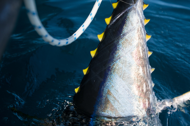 photo-of-a-large-yellowfin-tuna-fish-being-pulled-out-of-the-sea-with-ropes-nearby