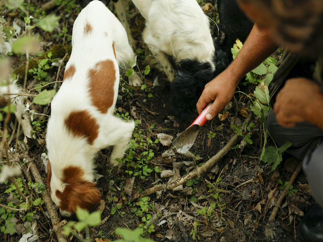 2 hunting dogs and a man with little shovel searching for truffles in the woods