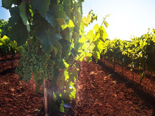 a few green grapes on a wine in a sunny vineyard and freshly digged soil