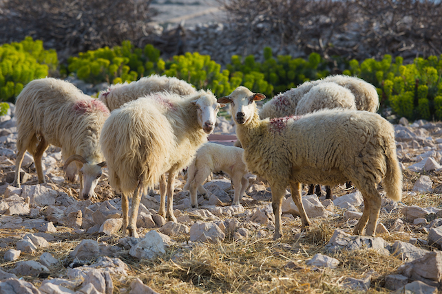 a-flock-of-white-sheeps-on-a-rocky-terrain-on-Pag-stading-next-to-one-another