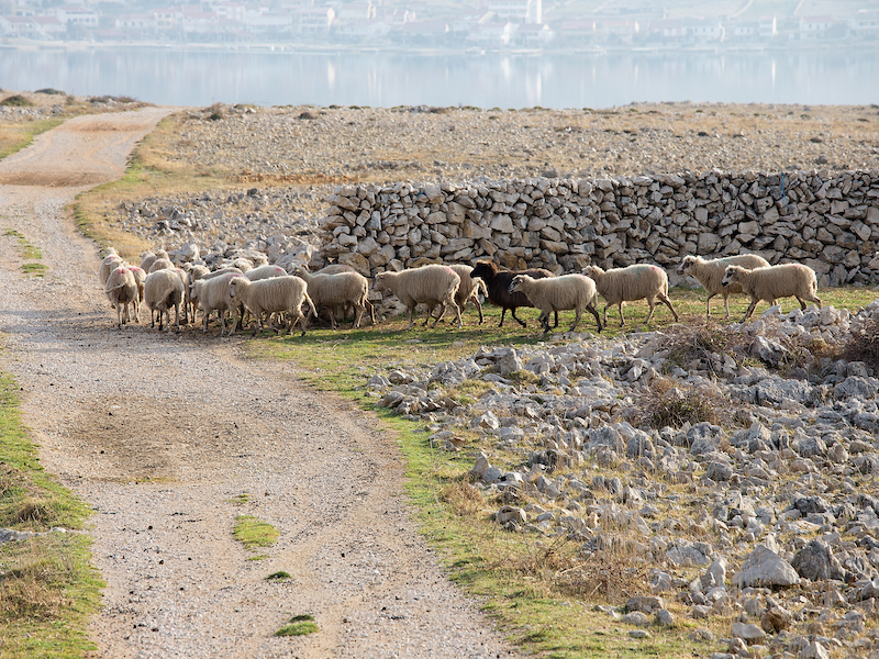 pack-of-speeps-walking-around-freely-with-houses-and-sea-in-the-distance