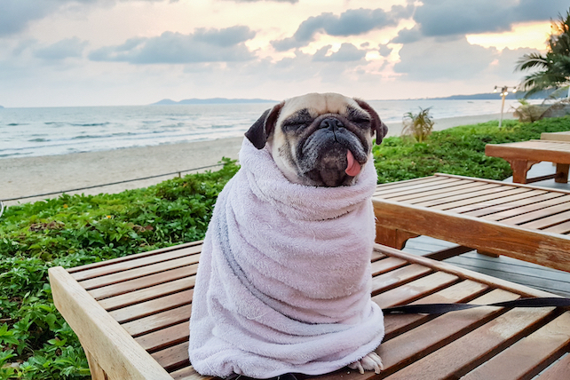 pug-with-a-tounge-sticking-out-hismouth-sits-on-a-bench-near-the-sea-wrapped-in-a-towel
