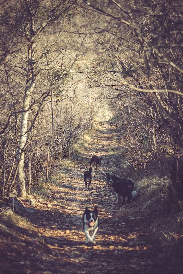 four-dogs-walking-through-the-forrest-in-Istria-during-a-sunny-winter-day